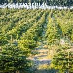 Eglučių plantacijų priežiūros darbuotojai Danijoje