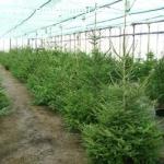 Ieškote sezoninio darbo Danijoje? Darbas gryname ore prie eglučių formavimo, sodinimo